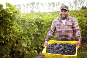 harvest, vineyards, Michigan's sparkling wine